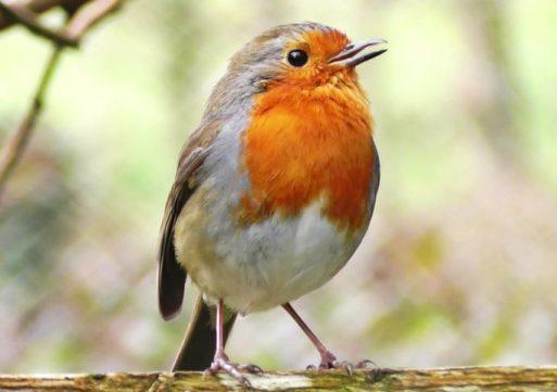 Vroege Vogelwandeling in De Moer